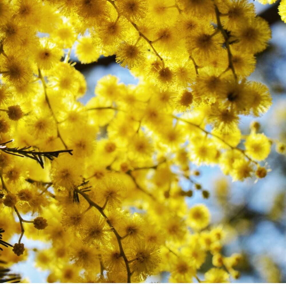Fiori di mimose