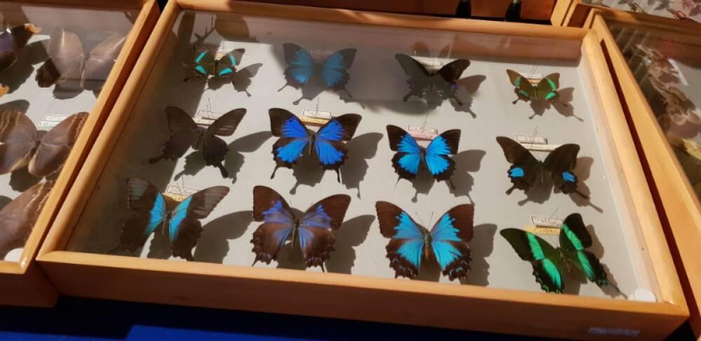 Collezione farfalle