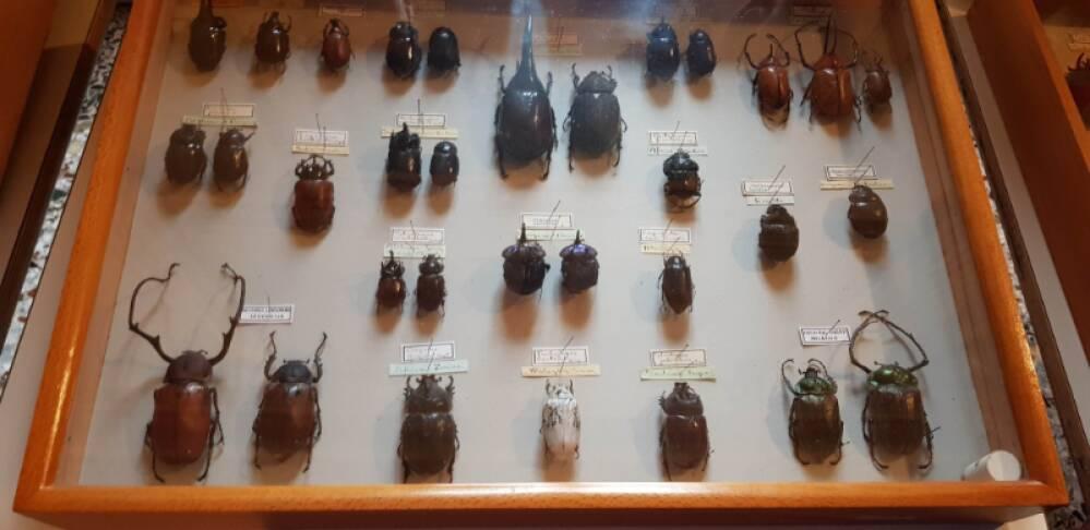 Collezione coleotteri